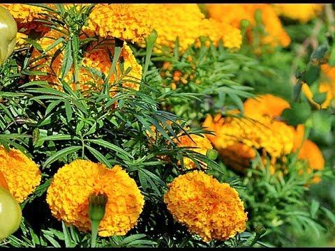 Jardinage semis d 39 oeillet d 39 inde comment faire un semis - Semis oeillet d inde ...