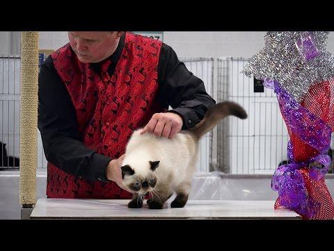 Zot kitten class judging, Red Show, CFA International 2015