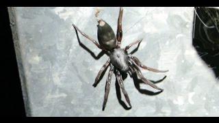White Tail Spider VS Black House Spider