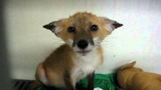Cute fox making noises