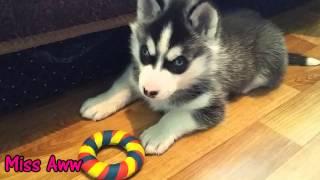 Johnny Fuzzy Little Siberian Husky Puppy