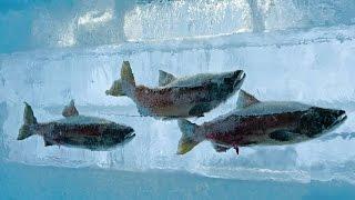 qu pasa si metes un pez vivo en nitrgeno lquido