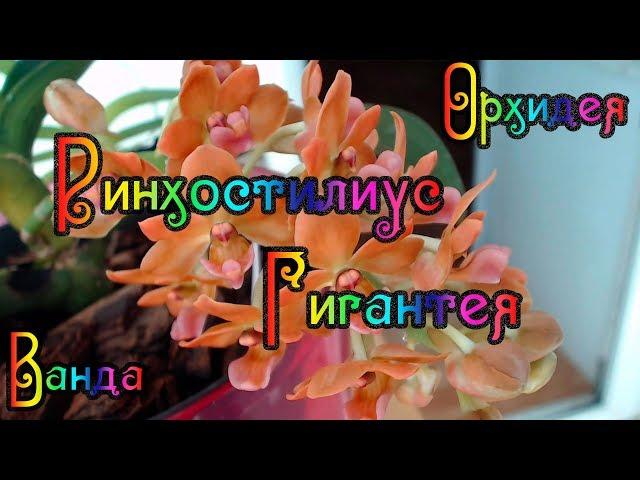 Орхидеи gigantea и vanda