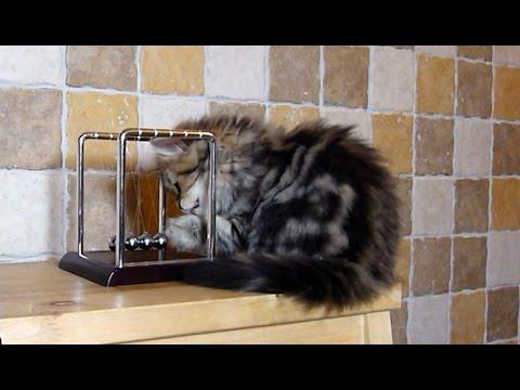 Cute Kitten crashes Newton's cradle