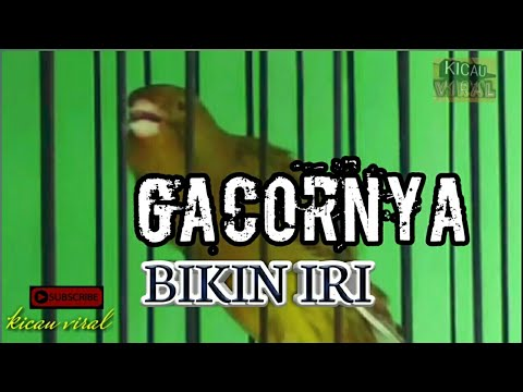 Download Lagu Kenari Gacor isian Kacer Cengkok Unik Rapat Calon Jawara