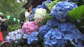 かつての准勅祭神社東京十社のひとつ白山神社で「あじさい祭り」が開か...