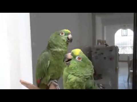 Попугай неразлучник трахает все подряд