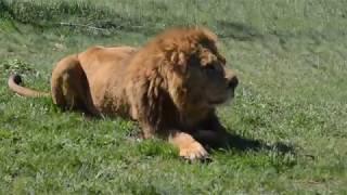 Саванна в цвету !Фото с львами Филей и Витей !