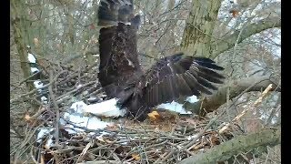 Pittsburgh Hays Eagles 1 15 19 1100am Mom & Dad working on snow covered nest