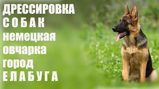 Фото Дрессировка щенка немецкой овчарки
