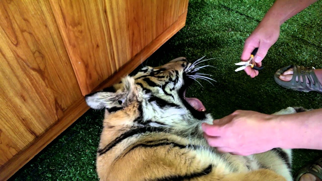 How to pull a tigers tooth ! - YouTube