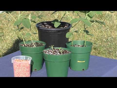 Soybeans in Pickaway County