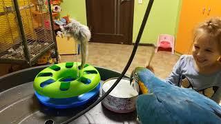 Попугай ара стучит клювом по железной коробке