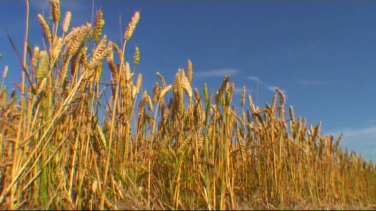 barley fields by nitrok-#44