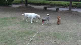 紀州犬 メス生後5ヶ月です。社会化訓練中です。
