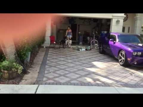 Doberman and mixed breed dog playing