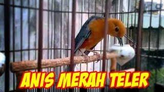 Suara burung anis merah juventus