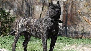 10 Razze Di Cani Da Guardia Più Letale Del Mondo