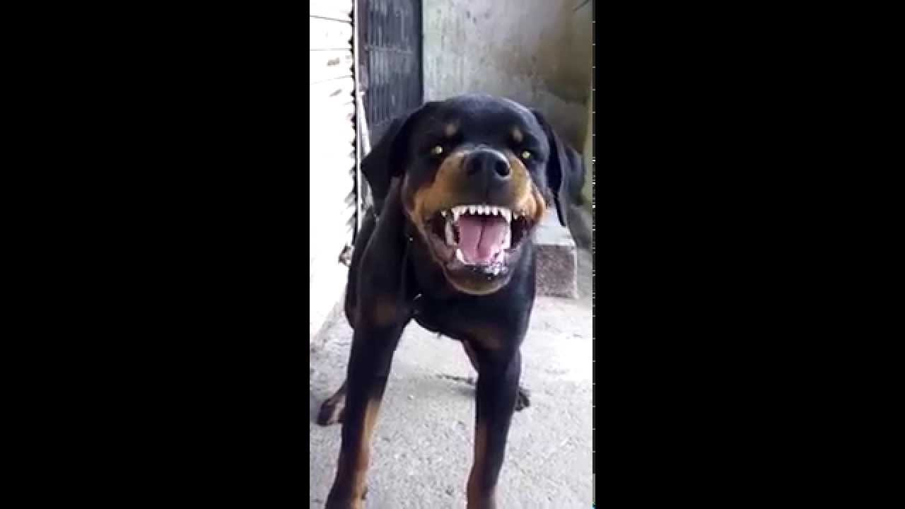 Angry rottweiler dog - photo#50