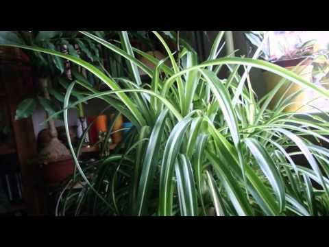 комнатные растения - хлорофитум
