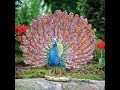 Awesome Rare Peacock images,Peacock Pictures,Peacock Photos,Peacock Wallpapers Video