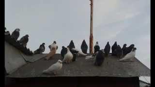 голуби разных пород.Фото слайд шоу.