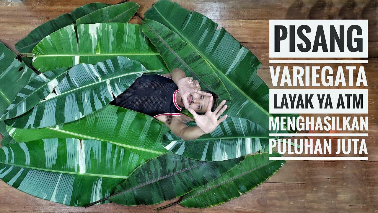 Pisang variegata menghasilkan Puluhan Juta