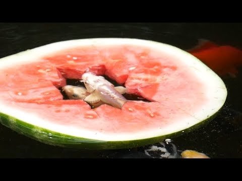 How To Train Koi Fish To Eat Watermelon