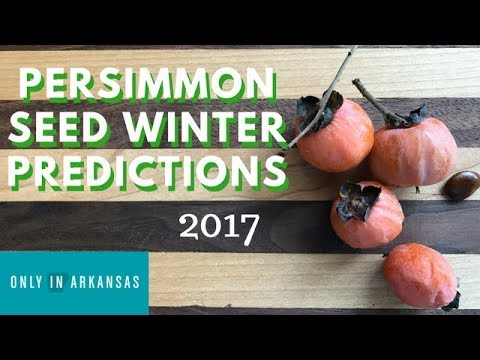 Persimmon Seed Winter Predictions 2017