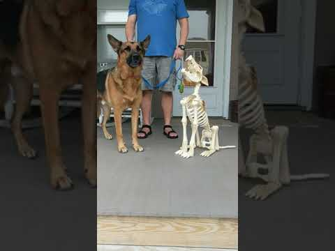 Trevor D in the Morning Show - VIDEO OF THE DAY: Dog Will Not Be Upstaged by a Howling Skeleton Dog