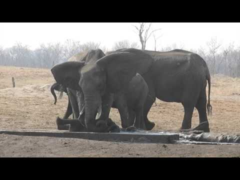 Baby elephant stuck in irrigation channel rescued in Hwange National Park  - Full version