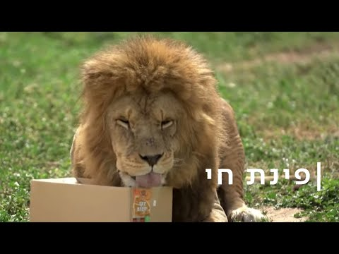 כדורגל, מחבואים והתפלשות בצואה: כיצד שומרים האריות בספארי על כושר?
