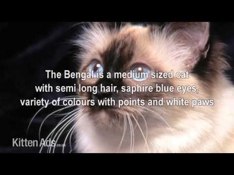 Kittenads breed guide to Birman Cat