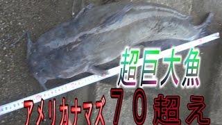 【70cm超】巨大ナマズを釣り上げろ【アメリカナマズ】 thumbnail