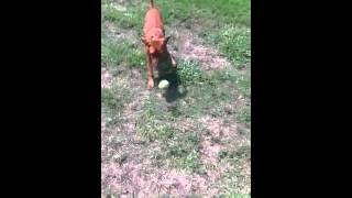 Recall Training With Vizsla Puppy| On The Ball K9 Training