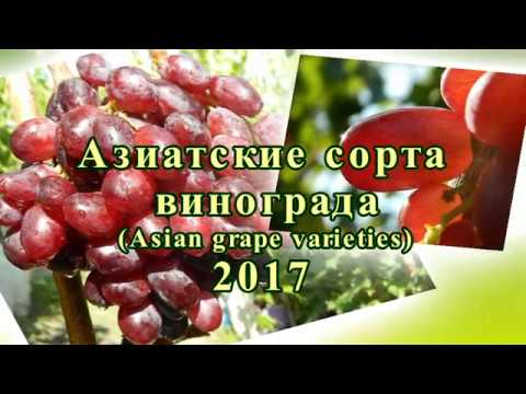 Азиатские сорта винограда. Часть 1. Сезон 2017 (Asian grape varieties. Part 1. Season 2017)