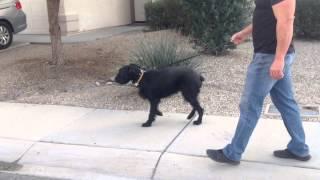 Phoenix Doggie Bootcamp - Female Schnauzer 1 Year
