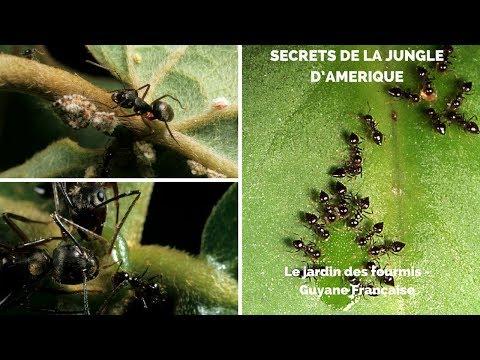 Le jardin des fourmis - Guyane Française