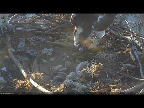 2018 05 25 The chicks tumble together | Boulder County Osprey Cam