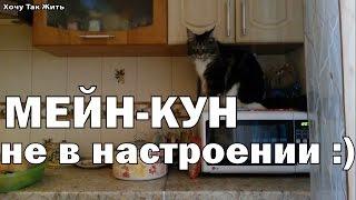 Кошечка (мейн-кун) не в настроении)))