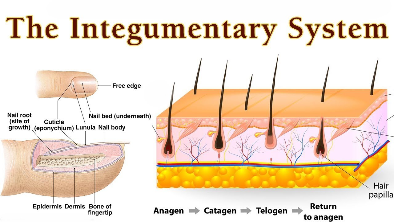 Anatomy And Physiology Of Integumentary System How Tissue