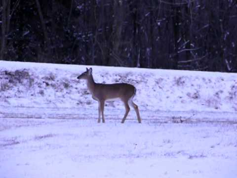 Deer Frolicking In Our First Snow