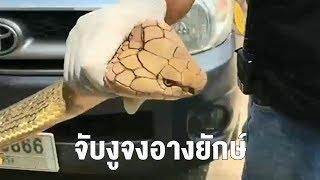 ขาสั่นเลย! งูจงอางยักษ์ยาว 5 เมตรเลื้อยซุกห้องเครื่องรถยนต์ ขู่พ่นพิษใส่กู้ภัย