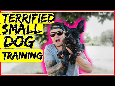 How to build confidence in a small fearful dog. Dog Training with Americas Canine Educator