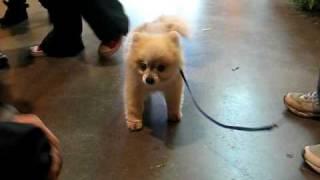 Adorable Shivering Pomeranian