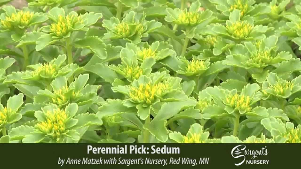 Perennial Pick Sedum Sargent S Nursery Inc