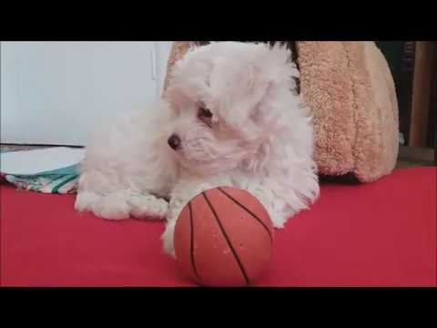 Bichon Maltese puppy - first day home