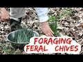 Foraging Feral Chives and Wild Chives