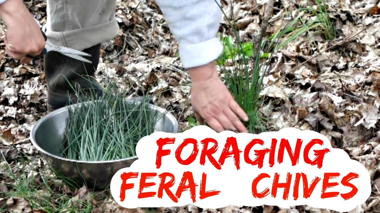 Foraging Wild Chives - Yard Weeds You Can Eat