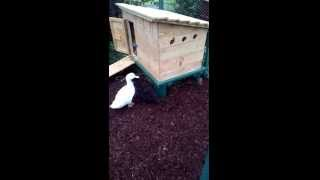 Backyard Duck Keeping- Homemade Duck Pen